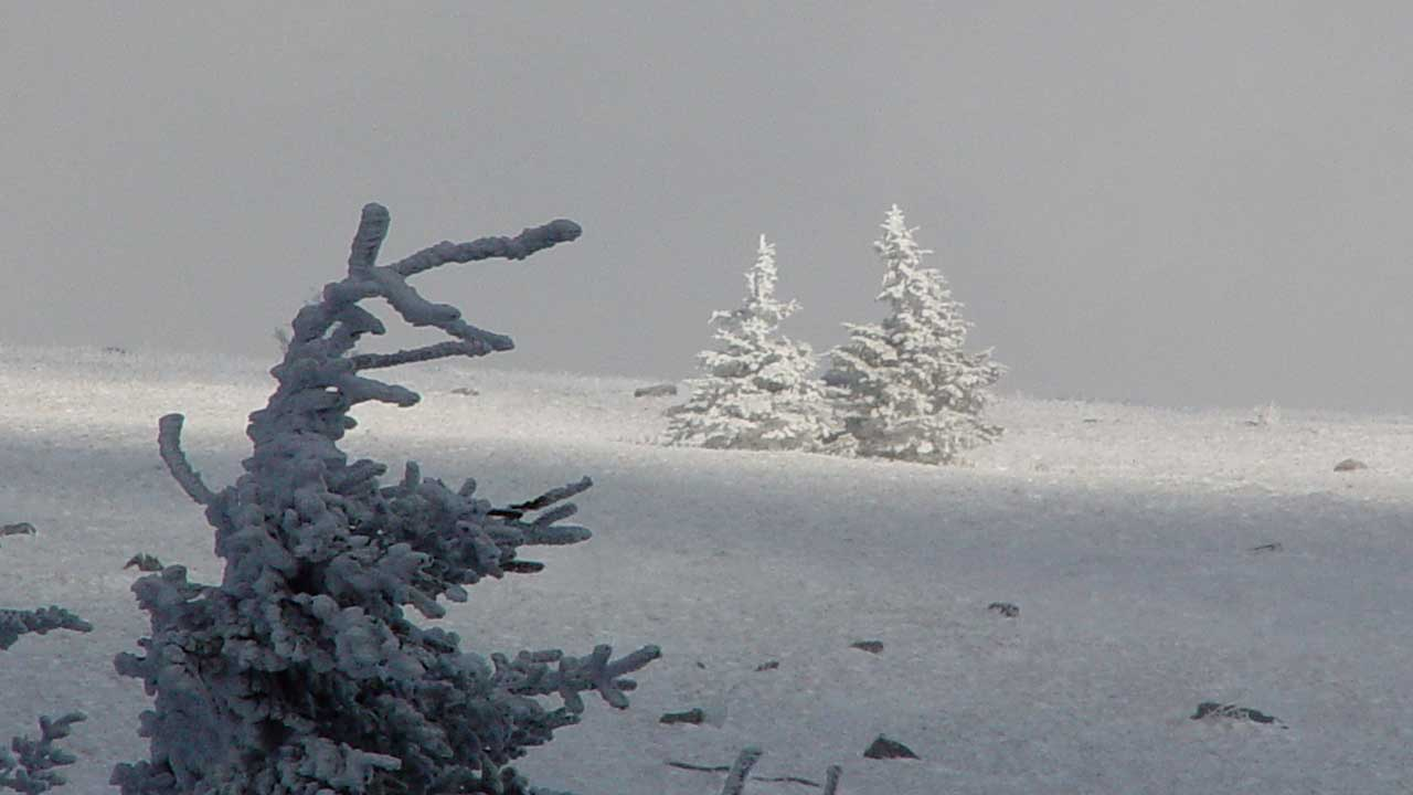 Trees-on-Roan-Mountain