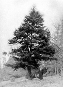 This tree gave Spruce Pine its name on April 26, 1859. Local photographer Jim Jones captured daughter Ora English Burleson, one of Issac and Alice English's daughters, standing by the famous landmark, which stood for decades across from the English Inn.
